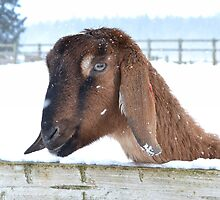 Snowy Goat by Gail Girvan