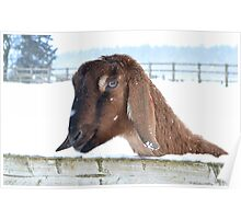 Snowy Goat Poster