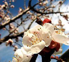 Apricot Blossom by JaredJames