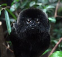 Goeldi's Marmoset by Monkeyman