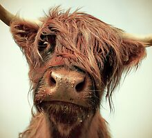 Hairy Coo by Paul Alsop
