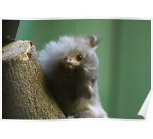 Black Tailed Marmoset Poster
