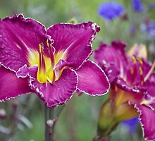 Daylilies and Cornflowers by Clare Colins