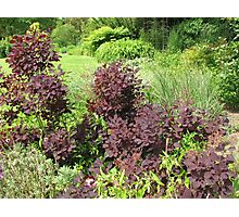 Shrubs with Copper Coloured Leaves - Hyde Hall, Essex Photographic Print