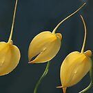 Yellow orchids by orchidcat