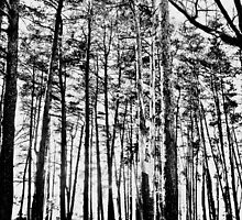 Tree Trunks by Tommy Seibold