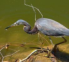 Tricolored Heron    129 Views by Rosalie Scanlon