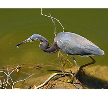 Tricolored Heron    129 Views Photographic Print