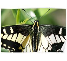 Beautifully Hairy Butterfly Poster