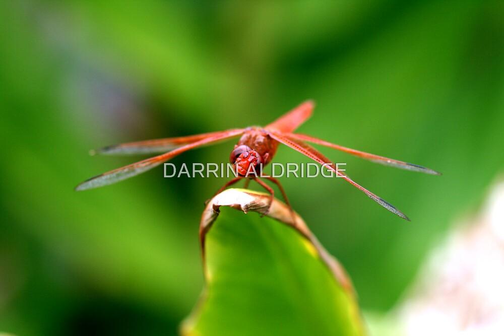 Darling Dragon by DARRIN ALDRIDGE