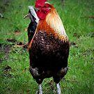 Rooster by Janine  Hewlett