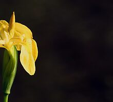 Wild Yellow Iris on black background by NKSharp