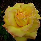 Beautiful Peace Rose - Oct. 2010 by EdsMum