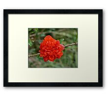 Dwarf Pomegranate Framed Print