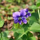 Dog's Foot Violet by Gary L   Suddath