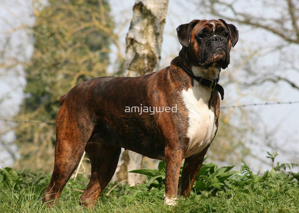 Boxer dog portrait by amjaywed