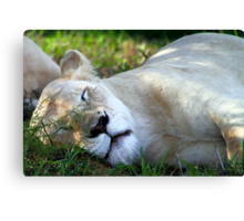Sleeping White Lion Canvas Print