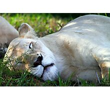 Sleeping White Lion Photographic Print