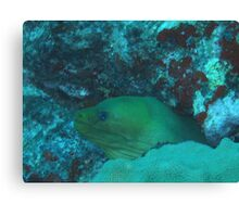 Moray Eel, Aruba Canvas Print
