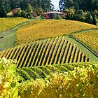 Golden Vines - Lenswood by LeeoPhotography