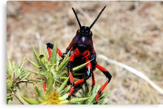 """This is a grin lady, not a smile!... """"Dictyophorus spumans – Koppie Foam grasshoppers."""" Free State, South Africa by Qnita"""