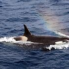 Killer Whale #3 by lanebrain photography