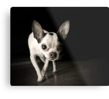 Chihuahua Black & White Metal Print