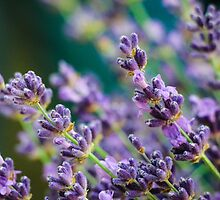 Lavendar Detail by Nicole Petegorsky