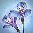 Alstroemeria in Blue by Krys Bailey