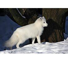 Arctic Fox. Photographic Print
