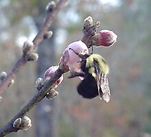 Bumble Bee on Peach Blossom by librapat