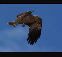Whistling Kite by Norman Winkworth