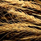 Wheat... Free State, South Africa by Qnita