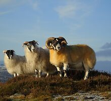 Sheep family by jmnicolson