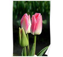 Tulips in April. Poster