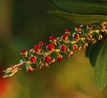 Bough of Bottlebrush Buds by Bonnie T.  Barry