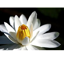 Water Lilly ll Photographic Print