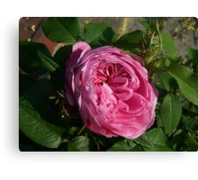 In full bloom .. a deep pink rose Canvas Print