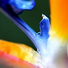 Bird of Paradise by Rebecca McLean