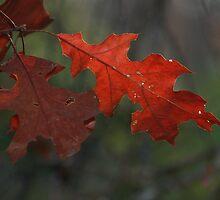 Fall Oak Leaf by Jim  McDonald