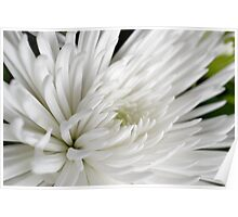 Macro Photography White Spider Mum Poster