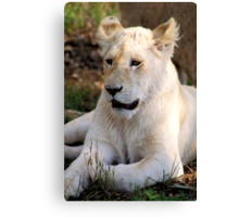 Adolescent Male White Lion Canvas Print