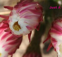 blooming cactus by cindylu