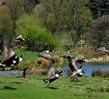 canadian geese in flight margam park red bubble meet port talbot by zacco