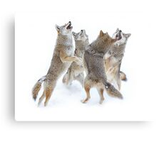 Coyote Sing-along Metal Print