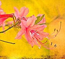 Wild Azalea Blossoms - Rhododendron canescens by MotherNature2
