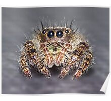 """ Don King"" Jumping Spider Poster"