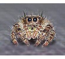""" Don King"" Jumping Spider Photographic Print"