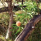 Banksia and Log by kalaryder