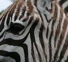 zebra by liz estes
